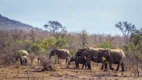 Afrykański krzaka słoń w Kruger parku narodowym, Południowa Afryka Obrazy Royalty Free
