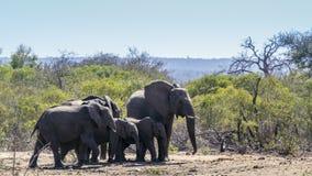 Afrykański krzaka słoń w Kruger parku narodowym, Południowa Afryka Zdjęcie Stock