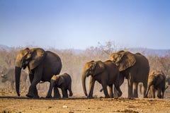Afrykański krzaka słoń w Kruger parku narodowym, Południowa Afryka Zdjęcia Stock