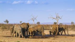 Afrykański krzaka słoń w Kruger parku narodowym, Południowa Afryka Obraz Royalty Free