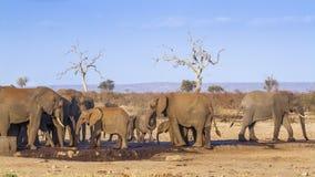 Afrykański krzaka słoń w Kruger parku narodowym, Południowa Afryka Fotografia Royalty Free