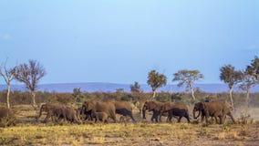 Afrykański krzaka słoń w Kruger parku narodowym, Południowa Afryka Obrazy Stock