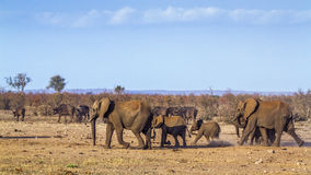 Afrykański krzaka słoń w Kruger parku narodowym, Południowa Afryka Obraz Stock