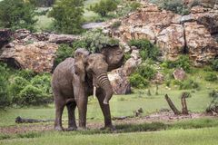 Afrykański krzaka słoń w Mapungubwe parku narodowym, Południowa Afryka obraz stock