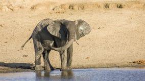 Afrykański krzaka słoń w riverbank w Kruger parku, Południowa Afryka zdjęcie royalty free