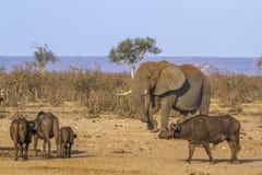 Afrykański krzaka, słonia i afrykanina bizon w Kruger obywatelu Zdjęcie Stock