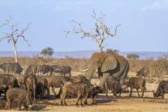 Afrykański krzaka, słonia i afrykanina bizon w Kruger obywatelu Obrazy Royalty Free