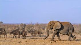Afrykański krzaka, słonia i afrykanina bizon w Kruger obywatelu Zdjęcia Stock