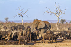 Afrykański krzaka, słonia i afrykanina bizon w Kruger obywatelu Fotografia Royalty Free