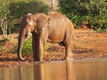 Afrykański krzaka słonia pić Obraz Royalty Free