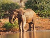 Afrykański krzaka słonia pić Zdjęcie Stock