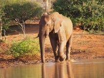 Afrykański krzaka słonia pić Zdjęcia Stock