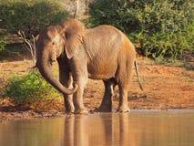 Afrykański krzaka słonia pić Fotografia Royalty Free