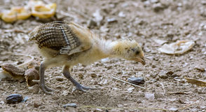 Afrykański kurczak obrazy stock