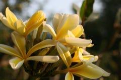 afrykański kwitnący frangipani Obraz Stock