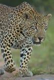 Afrykański lampart Południowa Afryka (Panthera pardus) Obraz Royalty Free