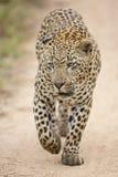 Afrykański lampart Południowa Afryka (Panthera pardus) Obrazy Stock