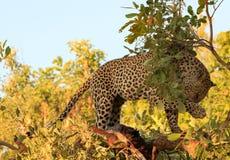 Afrykański lampart w drzewie z łapą w górę wycierać je ` s twarz w Południowym Luangwa parku narodowym zdjęcie royalty free