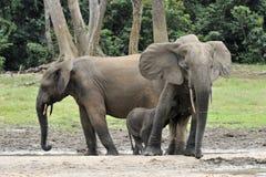 Afrykański Lasowy słoń, Loxodonta africana cyclotis, Obrazy Stock