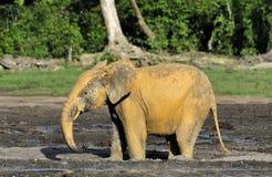 Afrykański Lasowy słoń, Loxodonta africana Kongo basen cyclotis, (lasowy mieszkaniowy słoń) Przy Dzanga zasolonym Zdjęcia Royalty Free
