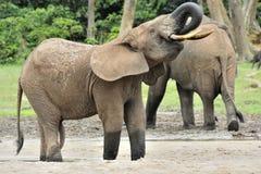 Afrykański Lasowy słoń, Loxodonta africana Kongo basen cyclotis, Przy Dzanga zasolony Środkowo-afrykański Ponownym (lasowa polana Obraz Stock