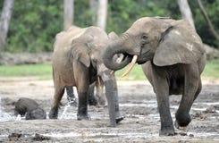 Afrykański Lasowy słoń, Loxodonta africana Kongo basen cyclotis, Przy Dzanga zasolony Środkowo-afrykański Ponownym (lasowa polana Zdjęcie Stock
