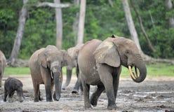 Afrykański Lasowy słoń, Loxodonta africana Kongo basen cyclotis, Przy Dzanga zasolony Środkowo-afrykański Ponownym (lasowa polana Obrazy Stock