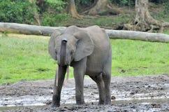 Afrykański Lasowy słoń, Loxodonta africana Kongo basen cyclotis, Przy Dzanga zasolony Środkowo-afrykański Ponownym (lasowa polana Fotografia Royalty Free