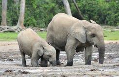 Afrykański Lasowy słoń, Loxodonta africana Kongo basen cyclotis, Przy Dzanga zasolony Środkowo-afrykański Ponownym (lasowa polana Zdjęcia Royalty Free