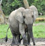 Afrykański Lasowy słoń, Loxodonta africana Kongo basen cyclotis, Przy Dzanga zasolony Środkowo-afrykański Ponownym (lasowa polana Obrazy Royalty Free
