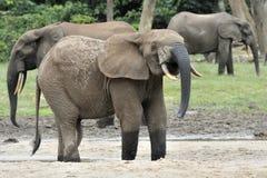 Afrykański Lasowy słoń, Loxodonta africana Kongo basen cyclotis, Przy Dzanga zasolony Środkowo-afrykański Ponownym (lasowa polana Zdjęcia Stock