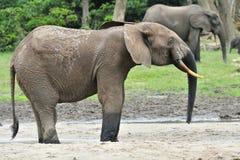 Afrykański Lasowy słoń, Loxodonta africana Kongo basen cyclotis, Przy Dzanga zasolony Środkowo-afrykański Ponownym (lasowa polana Fotografia Stock