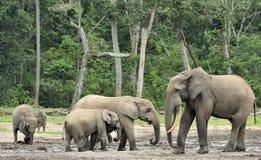 Afrykański Lasowy słoń, Loxodonta africana Kongo basen cyclotis, Przy Dzanga zasolony Środkowo-afrykański Ponownym (lasowa polana Zdjęcie Royalty Free