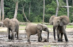 Afrykański Lasowy słoń, Loxodonta africana Kongo basen cyclotis, Przy Dzanga zasolony Środkowo-afrykański Ponownym (lasowa polana Obraz Royalty Free