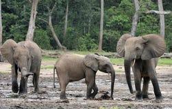 Afrykański Lasowy słoń, Loxodonta africana Kongo basen cyclotis, Przy Dzanga zasolonym Obrazy Stock