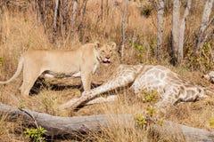Afrykański lew je żyrafy w południu - afrykańska gry rezerwa obrazy royalty free