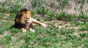 Afrykański lew odpoczywa w obszarach trawiastych zdjęcia stock