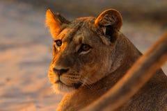 Afrykański lew, Panthera Leo, szczegółu duży zwierzę portret, evening słońce, Chobe park narodowy, Botswana, Południowa Afryka Obraz Royalty Free