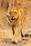 Afrykański lew, Panthera Leo, szczegółu duży zwierzę portret, evening słońce, Chobe park narodowy, Botswana, Południowa Afryka Ko Obrazy Royalty Free