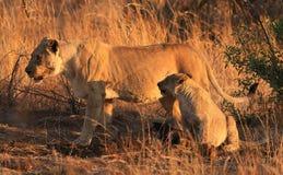 Afrykański lew, Panthera Leo zabił wildebeest przy Pil (lionesse) Zdjęcie Stock