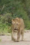 Afrykański lew Południowa Afryka (Panthera Leo) Obrazy Stock