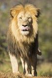 Afrykański lew Południowa Afryka (Panthera Leo) Fotografia Stock