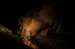 Afrykański lew przy nocą Zdjęcia Stock