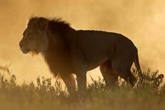 Afrykański lew przy wschodem słońca Obraz Royalty Free