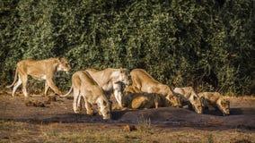 Afrykański lew w Kruger parku narodowym, Południowa Afryka fotografia stock