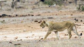 Afrykański lew w Kruger parku narodowym, Południowa Afryka Zdjęcie Stock