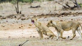 Afrykański lew w Kruger parku narodowym, Południowa Afryka Obraz Royalty Free