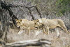 Afrykański lew w Kruger parku narodowym, Południowa Afryka Obrazy Royalty Free