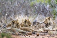 Afrykański lew w Kruger parku narodowym, Południowa Afryka Obrazy Stock