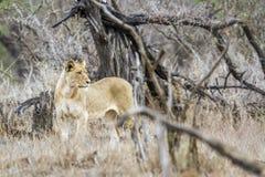 Afrykański lew w Kruger parku narodowym, Południowa Afryka Zdjęcie Royalty Free